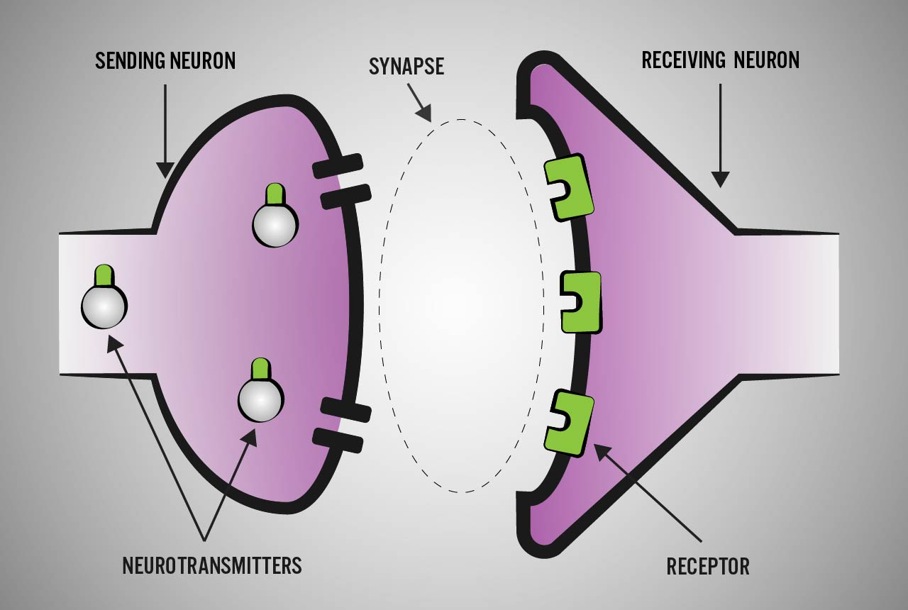 nerve cell synapse